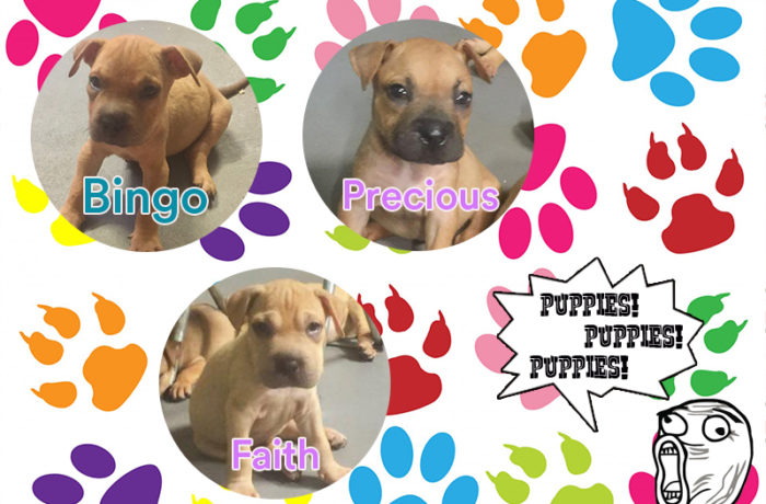 Puppies – American Bulldog Mix